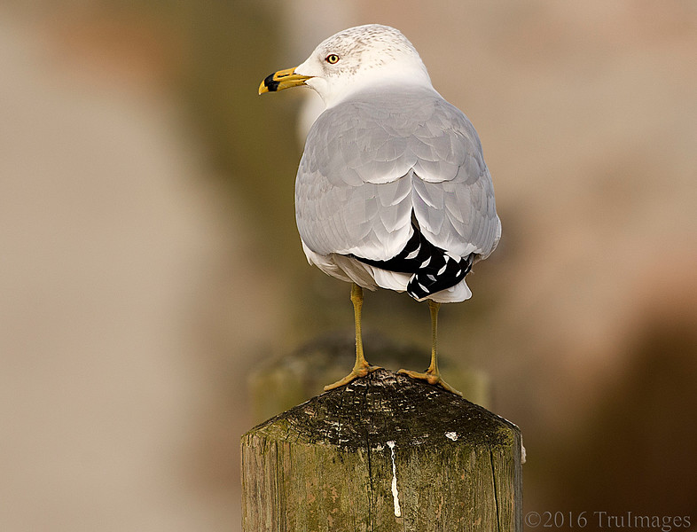 Seagull Thoughts