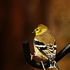 Goldfinch Thoughts