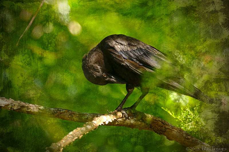 Canvas Crow