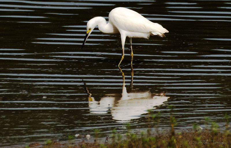 Egret's Reflection