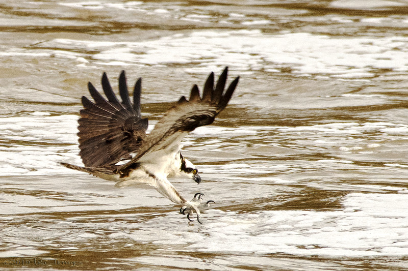 Osprey Action