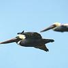 Pelican and Wingman