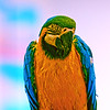 Pampered Macaw