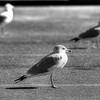 Urban Seagulls