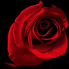 Mysterious Red Rose