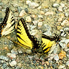 Swallowtail Trio by TruImages