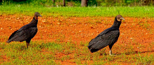 Dec 8 V=Vulture  Really late upload today.. out of town all weekend. Anyway my contribution to V day challenge is a couple of black vultures lurking roadside!