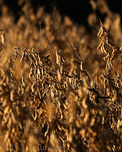 Nov 17 S=Soybeans  Soybeans, ready for harvesting!