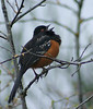 "Now THAT is a Spotted Towhee and I really, really got him.<br /> Click ""Original"" and check him for lice."