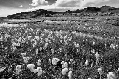 Arctic Cotton Grass on the Southern Coast
