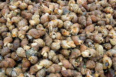 Whelk, Buccinum Undatum, Commercially Harvested