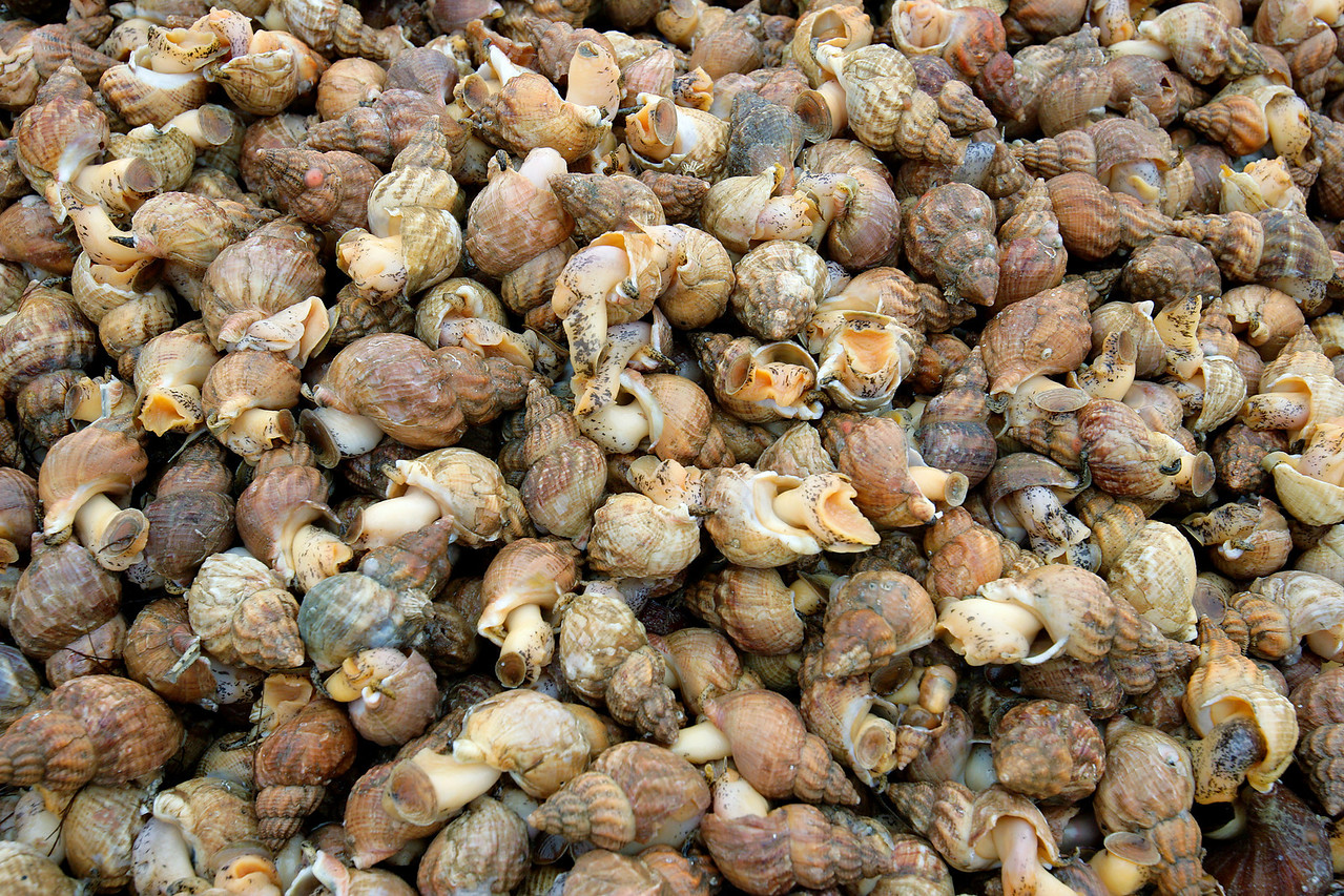 Whelk, Buccinum Undatum, Commercially Harvested