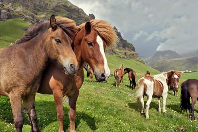 Icelandic Horses in Pasture