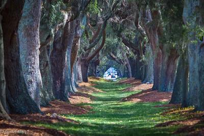 Avenue of the Trees - St. Simon Island