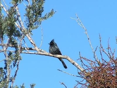 phainopepla ,saguaro nat park, dec 8, 2004c