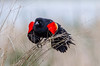 Look out!  Red winged blackbird at Cheyenne Bottoms wildlife refuge in Kansas.<br /> Photo © Carl Clark