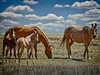 Who dat?!  Lovely mares & foals in the Oklahoma panhandle.<br /> Photo © Cindy Clark