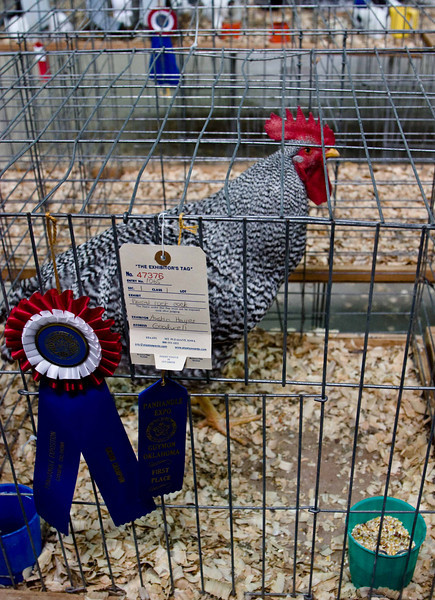 A prize winner at the Texas County Fair in Guymon, Oklahoma.<br /> Photo © Carl Clark