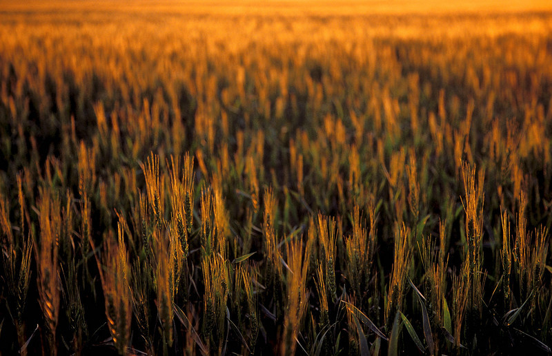 Wheat field at sunset near Guymon, Oklahoma.<br /> Photo © Cindy Clark