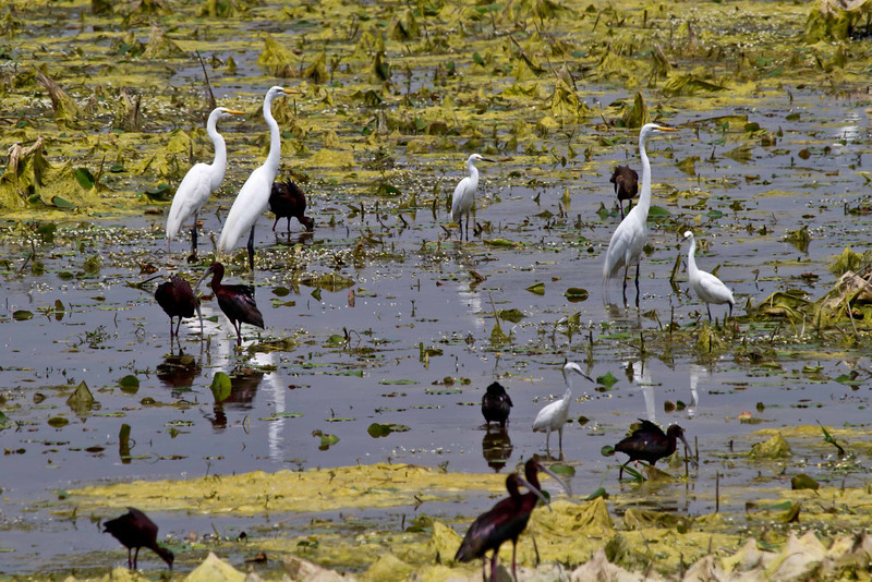 Egrets and Ibises enjoying a pleasant afternoon at Salt Plains National Wildlife Refuge in northern Oklahoma.<br /> Photo © Carl Clark