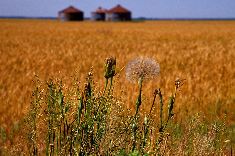 Wheat field in central Kansas.<br /> Photo © Cindy Clark