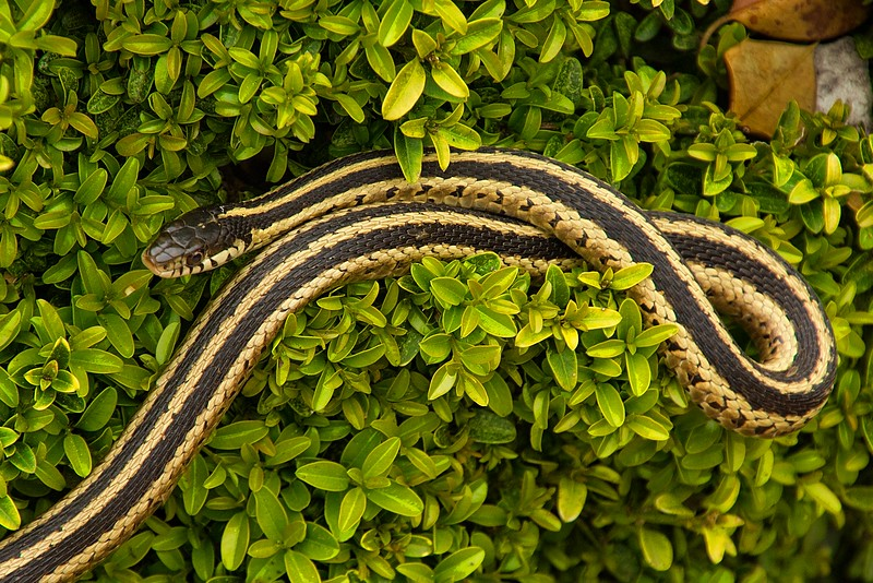 A plains gartersnake rests in the bushes at Missouri Botanical Garden in St. Louis.<br /> Photo © Carl Clark