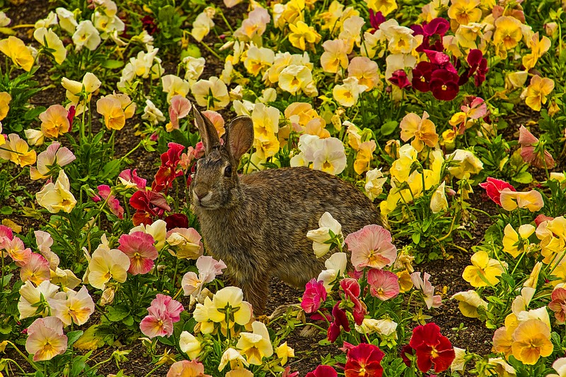 A bunny takes time to pose for a close-up amongst the flowers at the Missouri Botanical Garden in St. Louis.<br /> Photo © Carl Clark