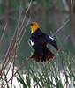 Yellow headed blackbird makes his presence known at Cheyenne Bottoms wildlife refuge in Kansas.<br /> Photo © Carl Clark