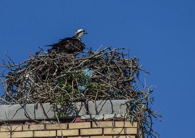 Osprey in a Nest, Sandy Hook, New Jersey
