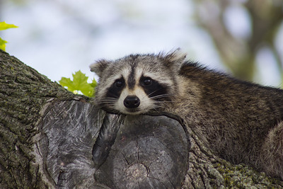 Raccoon, Sandy Hook, New Jersey