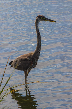 Great Blue Heron, Sandy Hook, New Jersey