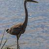 Great Blue Heron, Sandy Hook, New Jersey