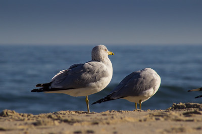 Gulls, Long Branch, New Jersey