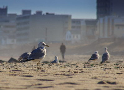 Gulls on the Sand, Long Branch, New Jersey