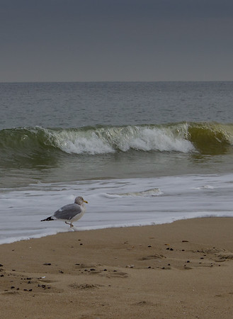 Gull in the Surf, Long Branch, New Jersey