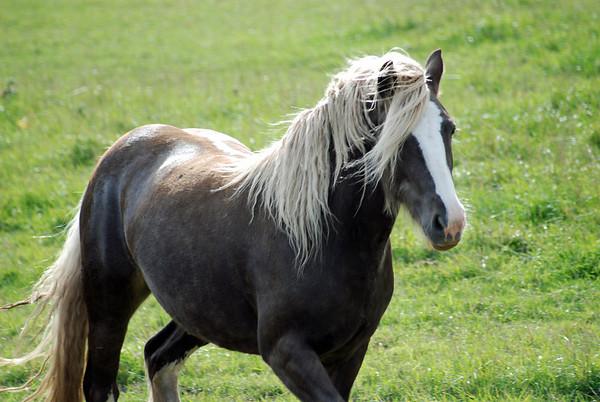 "The Krebsback's Gipsy Vanner mare ""Latte"""
