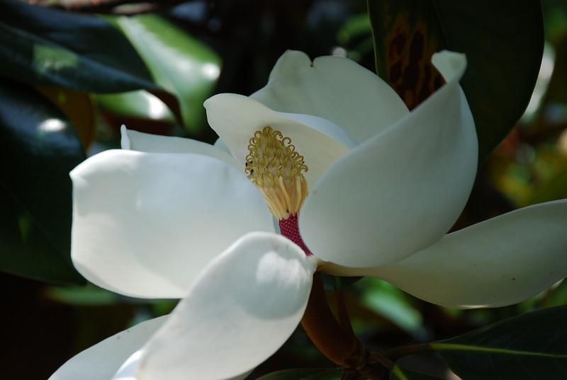 Magnolia, Annapolis, Maryland