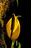 Widespread in swampy areas on much of the west coast, you will probably smell the skunk cabbage bloom well before you see it.<br /> Photo © Cindy Clark