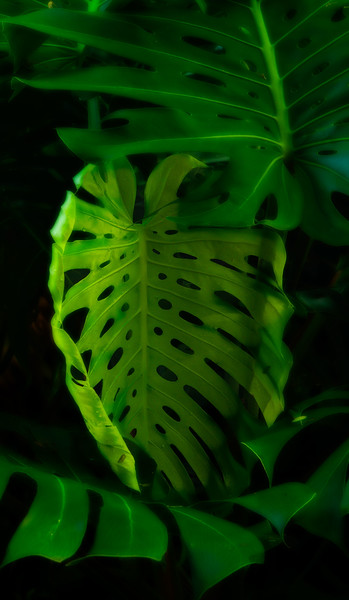 A beautiful plant with a funny name - Monstera delicoisa.<br /> Photo © Cindy Clark