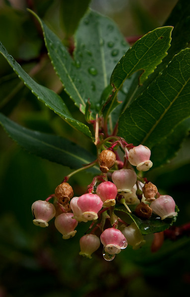 October rain drips from the delicate blooms of a Strawberry tree.<br /> Photo © Cindy Clark