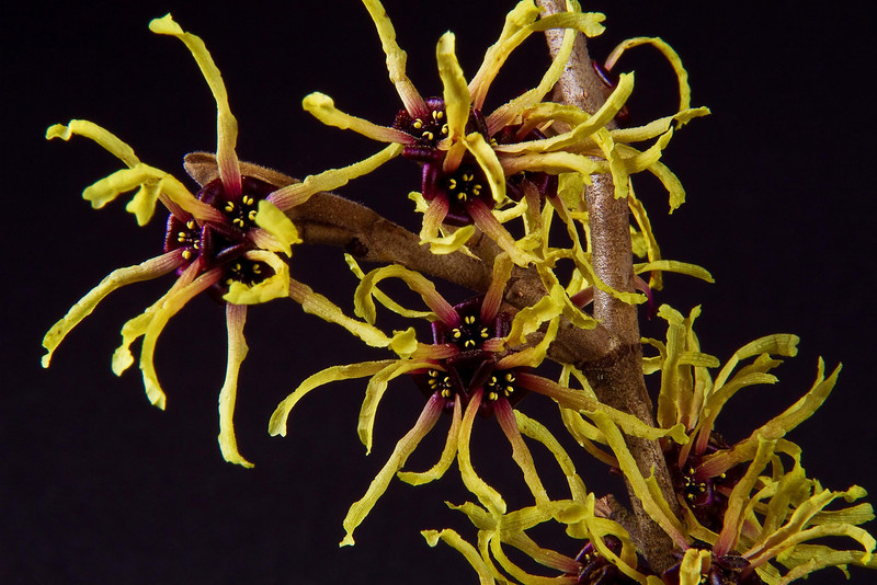 Fireworks in winter?  Look for witch hazel!<br /> Photo © Cindy Clark