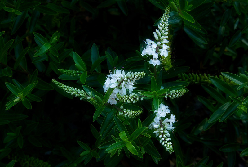 A welcome cool sight on a hot August day, this Veronica canterburiensis is native to New Zealand and can be found at Seattle's Arboretum.<br /> Photo © Cindy Clark