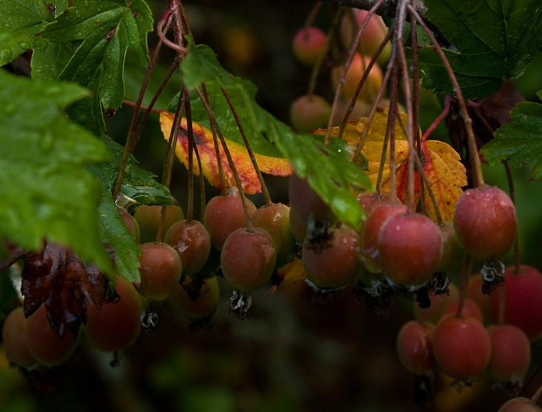 Hawthorn leaf crabapple in September.  Autumn arrives soon.<br /> Photo © Cindy Clark