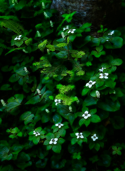 Canadian Dogwood in the North Cascades.<br /> Photo © Cindy Clark