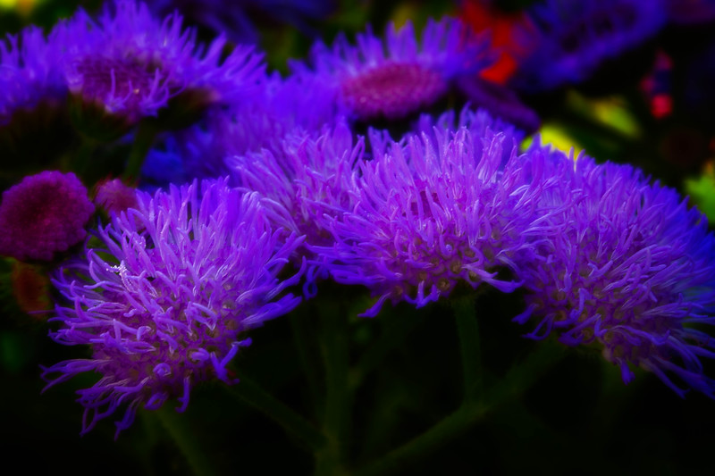 One of my favorite annual plants , commonly known as floss flower.<br /> Photo © Cindy Clark