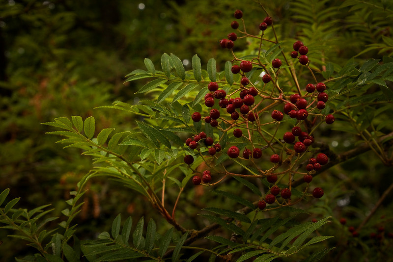 A mountain ash from China.<br /> Photo © Cindy Clark