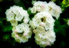Stop licking the screen!!   This scrumptious mountain laurel can be see at Seattle's Arboretum.<br /> Photo © Cindy Clark