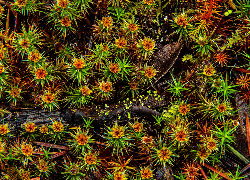 There's a whole universe at our feet.  This is juniper moss, taken in a coastal forest in Oregon.<br /> Photo © Cindy Clark