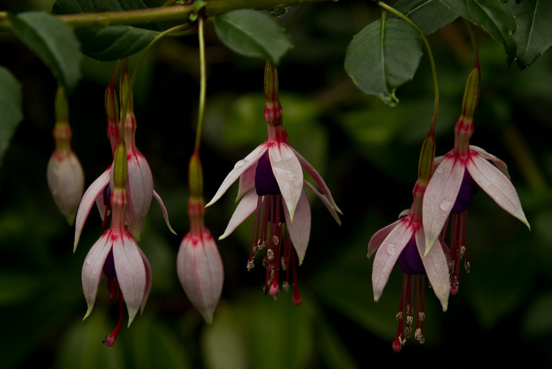One of the prettiest flowers in the garden - a hardy fuchsia from Chile blooms in Seattle's Arboretum.<br /> Photo © Cindy Clark