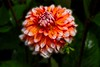 Dahlia. Shore Acres State Park in Oregon.<br /> Photo © Carl Clark
